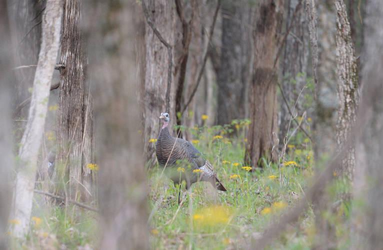 World Turkey Hunt Traeger Decoy